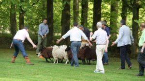 2011-schapen
